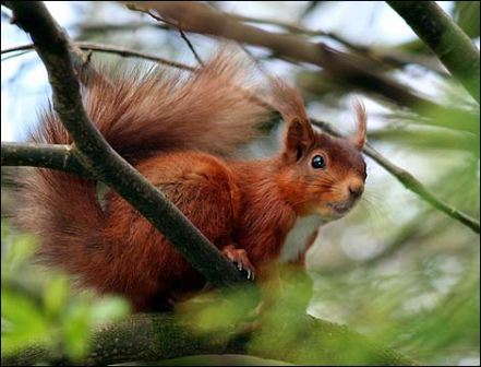 Red Squiirrel